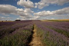 Hitchin Lavender Farm  2014
