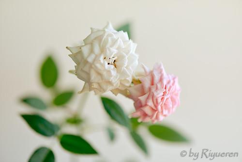 Le due rose
