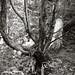 cool tree b/w
