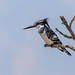 Pied Kingfisher taking a rest