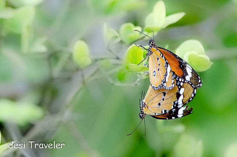 Butterflies in Denwa Backwaters Escape Satpura National Park