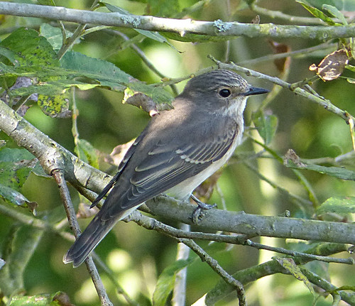Spotted Flycatcher Muscicapa striata Tophill Low NR, East Yorkshire August 2014