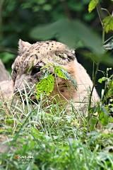 Raubkatzen im TP Hellabrunn 2014_09_13/17