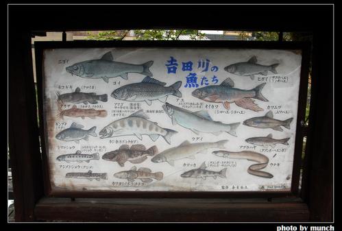 郡上八幡的乾淨水圳,流入吉田川,保護的河流生態。圖片來源:munch