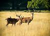 Deer: Richmond Park