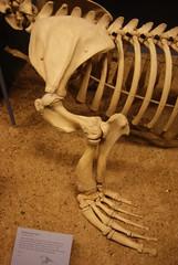 Steller sea lion (Eumetopias jubatus) forelimb at the Field Museum, Chicago, IL