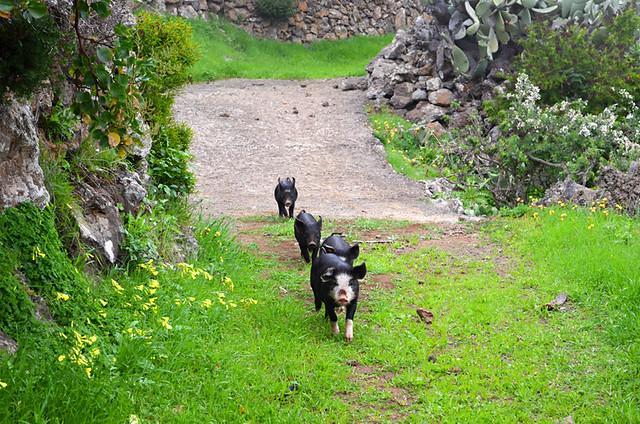 The missing piglets, El Hierro