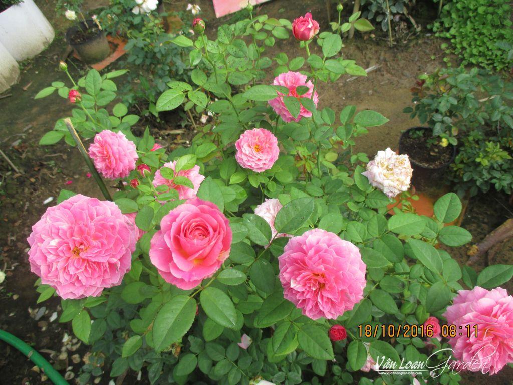 Đây là form hoa thường thấy của hồng sọc Claude Monet