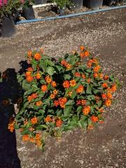 Lantana 'Bandito Orange Sunrise' -bm SKU 668-378