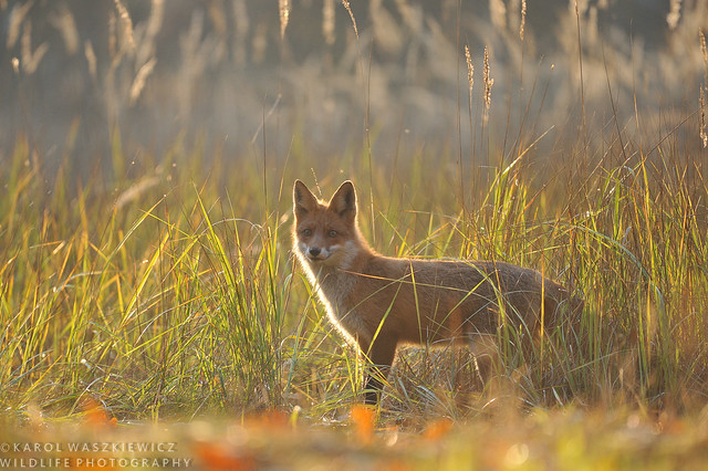 Red fox in autumnal late afternoon light.