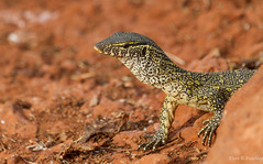 Monitor Lizard, Senegal