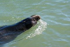 Sea Lion Swimming in Santa Cruz Harbor