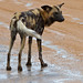 Small photo of African Wild Dog (Lycaon pictus) on the road