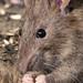 Ratas - Photo (c) Kentish Plumber, algunos derechos reservados (CC BY-NC-ND)