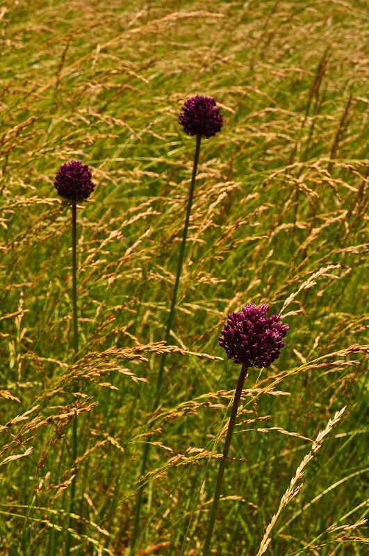 Allium ampeloprasum (2)