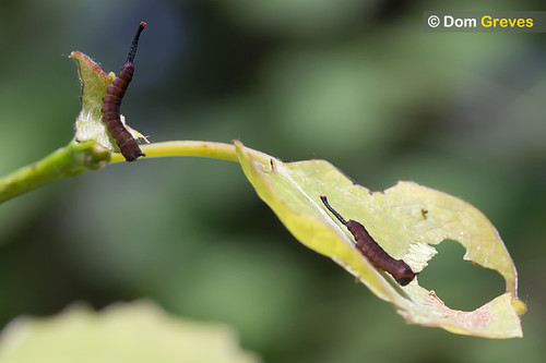 1st instar puss moth siblings (Cerura vinula) feeding on aspen