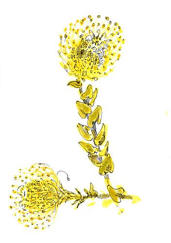 May 2014: Protea Pincushion