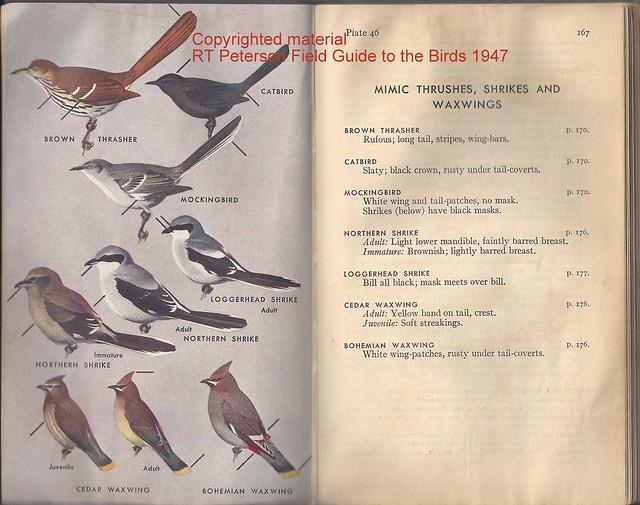 Peterson 1947 Shrike illustration