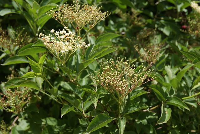 elder flower and tiny elderberries