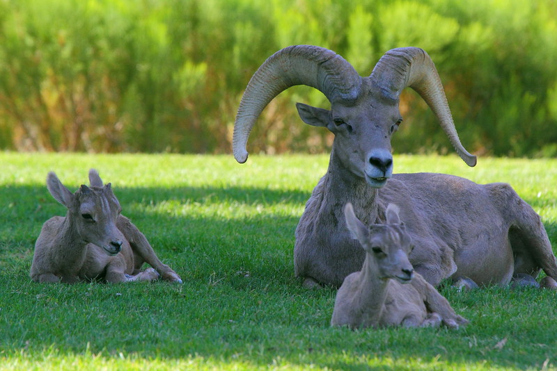IMG_3597 Bighorn Sheep Ram and Lambs
