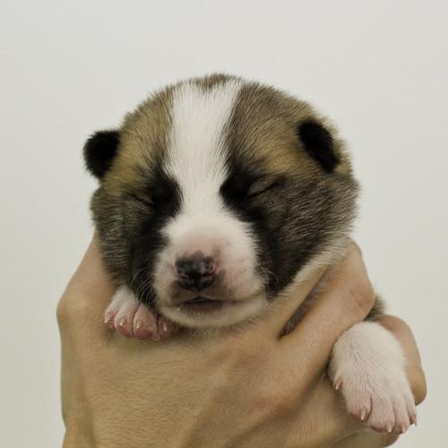 Anya-Litter1-10Days-Puppy7(Male)a