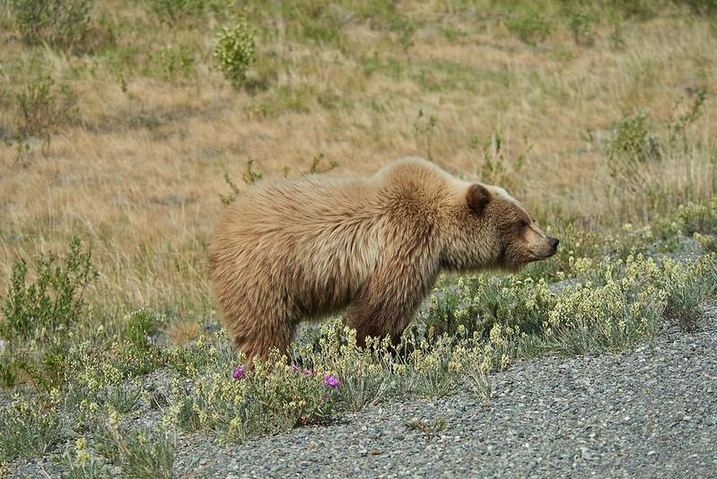Grizzly - Alaska Highway