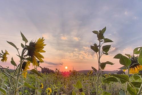 sunrise germany de sonnenaufgang hdr stockelsdorf schleswigholstein sonnenblumen ostholstein