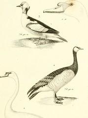 """Image from page 254 of """"Iconographie du règne animal de G. Cuvier, ou, Représentation d'après nature de l'une des espèces les plus et souvent non encore figurées de chaque genre d'animaux : avec un texte descriptif mis au courant de la science : ouvrage p"""