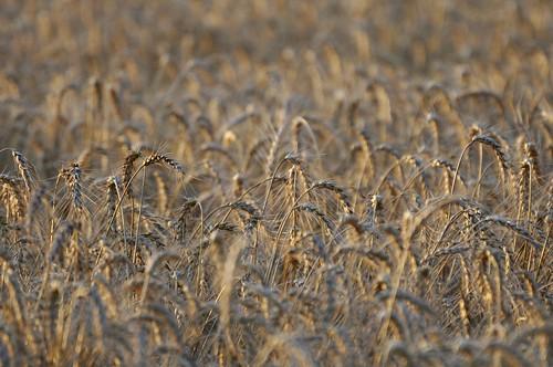 sunset gold wheat indiana ripe