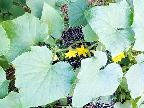 09cucumbers.jpg