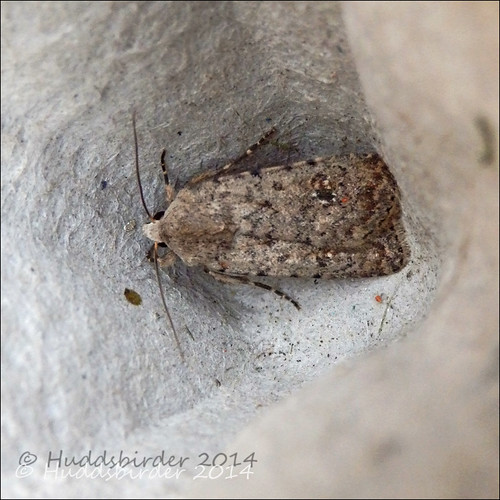 Pale Mottled Willow - 2389