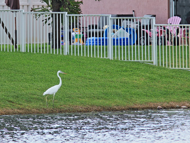 Great White Heron 2-20140812