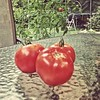 Harvest time #backyardgarden #bigboytomatoes