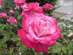 Gradient pink rose