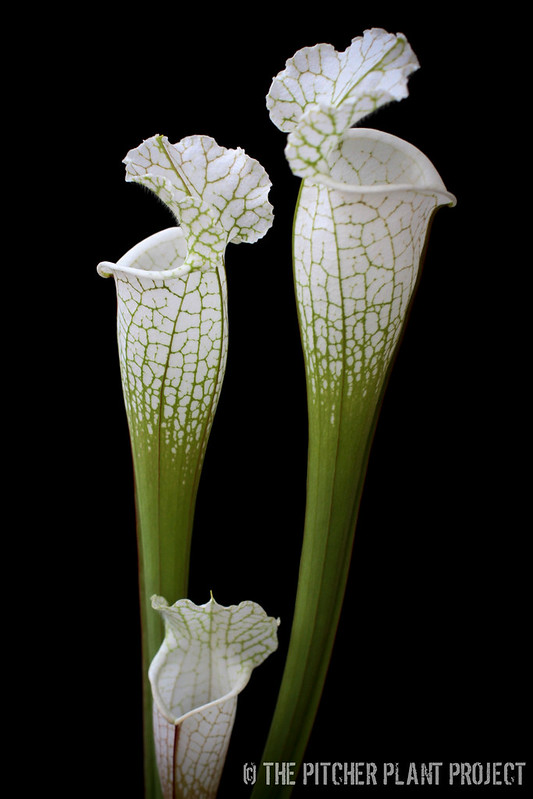 Sarracenia leucophylla 'Hurricane Creek White' - Clone A