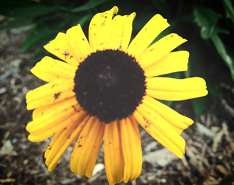 Rudbeckia Daisy