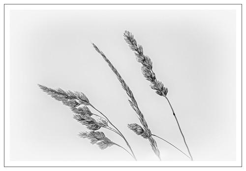 bw monochrome grass mono blackwhite flora niksoftware silverefex