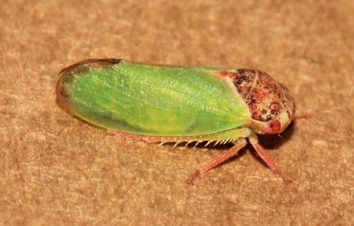 Iassus lanio 31928
