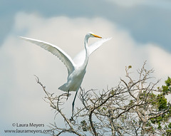 Great Egret on Tree Top