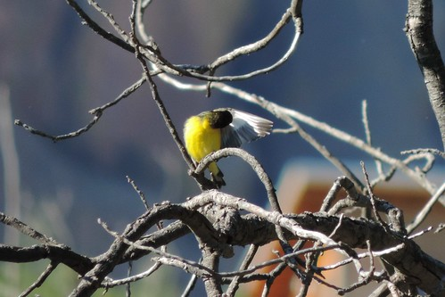 #86 Lesser Goldfinch (Carduelis psaltria)