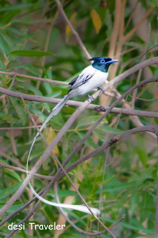 Adult Asian Paradise Flycatcher at Satpura National Park