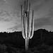 Saguaro #28