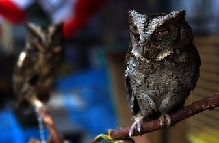 Owls at an animal market in Malang | by marius.stankiewicz