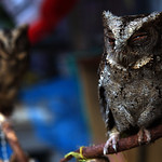 Owls at an animal market in Malang
