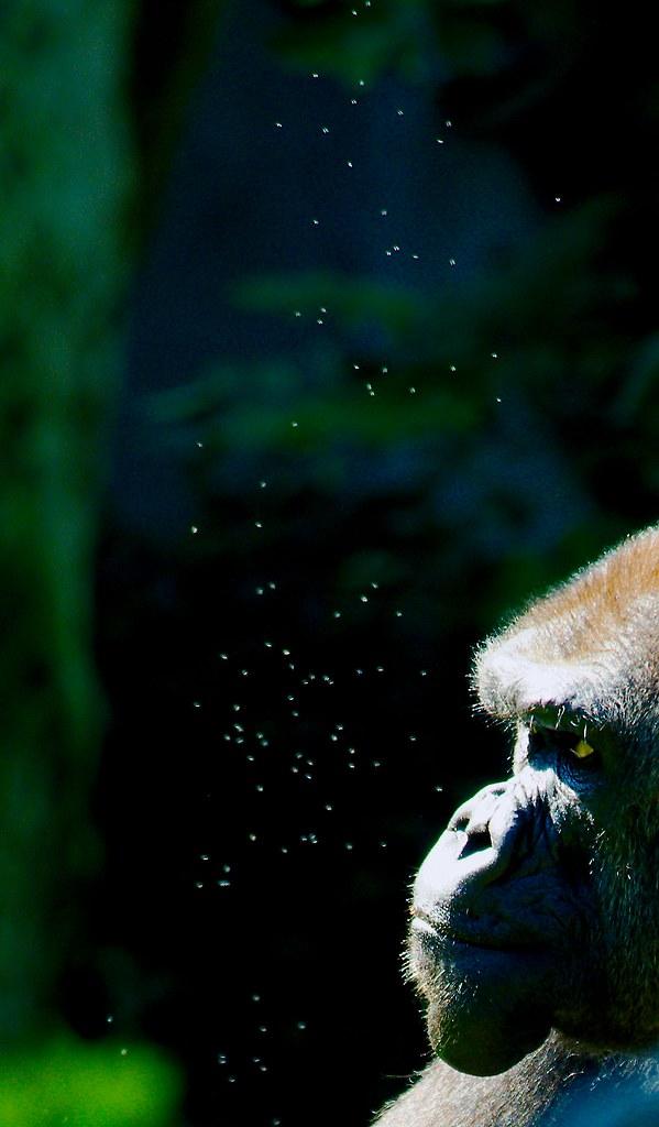 Gorilla_8_1_v2
