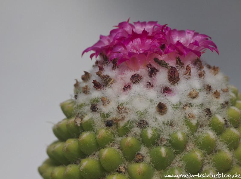 Mammillaria polythele fa. nudum c 1024