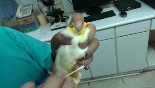 簡醫師為粉圓擦藥@邁德氏鳥醫院