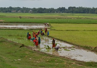 Men and women plant paddy in flooded fields