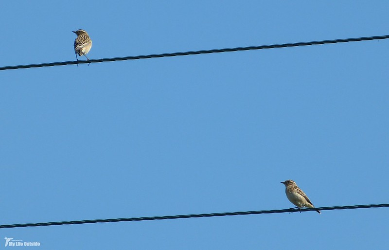 P1080855_2 - Whinchats, Whiteford