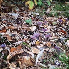 Hittade massor av lila svampar i dag. (Och några trattisar och soppar)